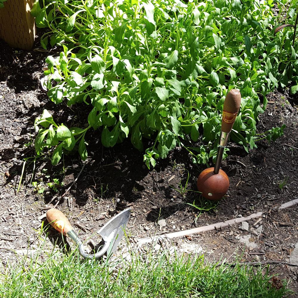 Warren hoe and a ball weeder in the dirt amongst garden plants.
